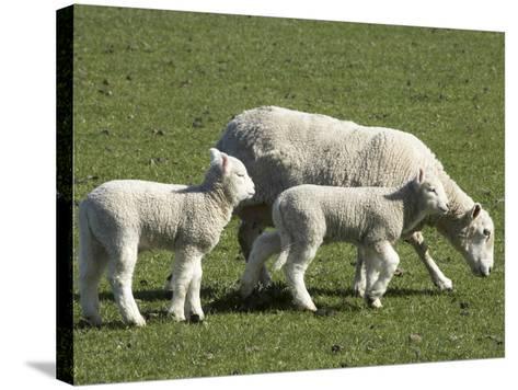 Sheep and Lambs, Near Dunedin, Otago, South Island, New Zealand-David Wall-Stretched Canvas Print