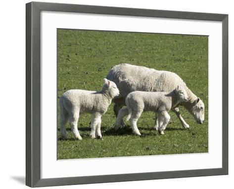 Sheep and Lambs, Near Dunedin, Otago, South Island, New Zealand-David Wall-Framed Art Print