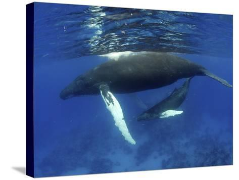 Humpback Whale Mother and Calf, Silver Bank, Domincan Republic-Rebecca Jackrel-Stretched Canvas Print