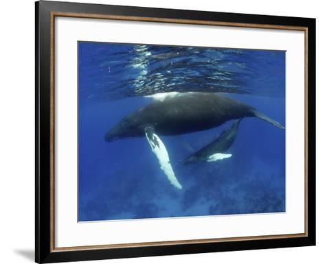 Humpback Whale Mother and Calf, Silver Bank, Domincan Republic-Rebecca Jackrel-Framed Art Print