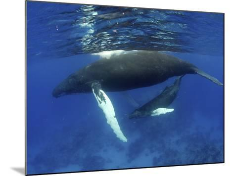 Humpback Whale Mother and Calf, Silver Bank, Domincan Republic-Rebecca Jackrel-Mounted Photographic Print