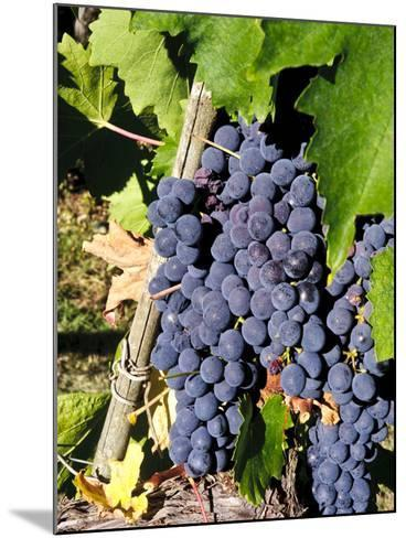 Chianti Grapes Ready for Crush, Greve, Tuscany, Italy-Richard Duval-Mounted Photographic Print
