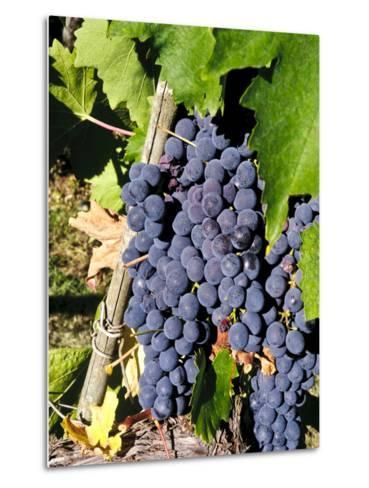 Chianti Grapes Ready for Crush, Greve, Tuscany, Italy-Richard Duval-Metal Print
