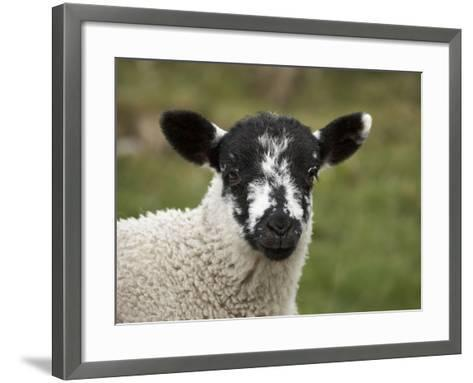 Lamb Near Malham, Yorkshire Dales, North Yorkshire, England-David Wall-Framed Art Print
