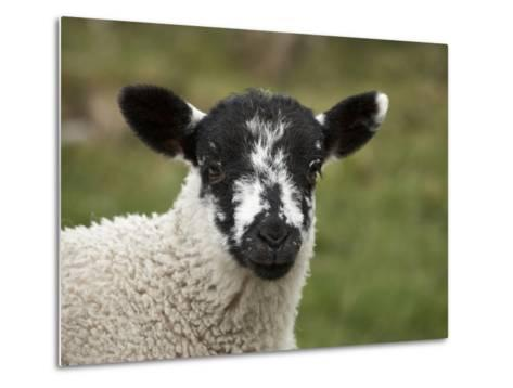 Lamb Near Malham, Yorkshire Dales, North Yorkshire, England-David Wall-Metal Print