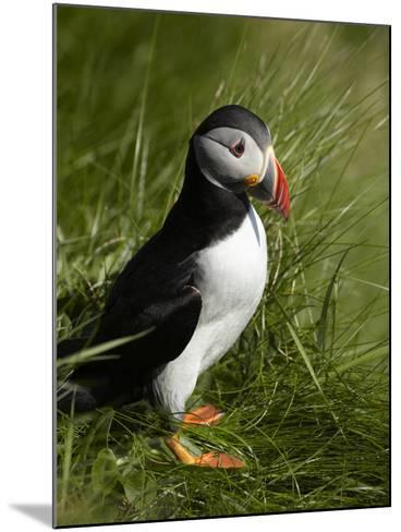 Puffin, Staffa, Off Isle of Mull, Scotland-David Wall-Mounted Photographic Print