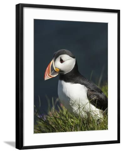 Puffin, Staffa, Off Isle of Mull, Scotland-David Wall-Framed Art Print