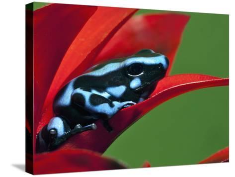 Blue and Black Poison Dart Frog, Panama Blue-Adam Jones-Stretched Canvas Print