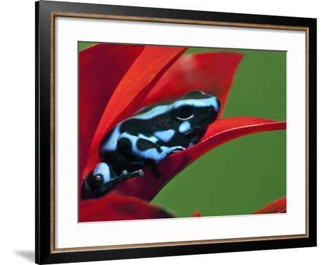 Blue and Black Poison Dart Frog, Panama Blue-Adam Jones-Framed Art Print