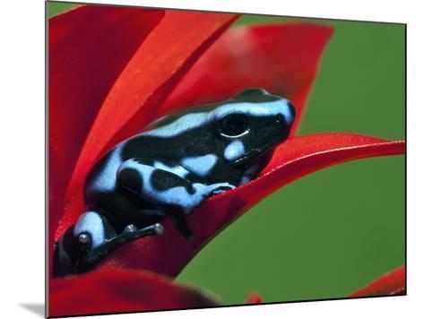 Blue and Black Poison Dart Frog, Panama Blue-Adam Jones-Mounted Photographic Print