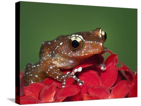 Cinnamon Tree Frog, Borneo-Adam Jones-Stretched Canvas Print