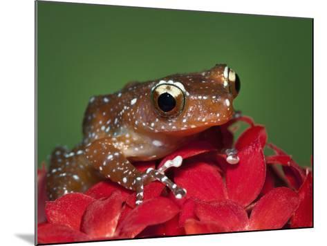 Cinnamon Tree Frog, Borneo-Adam Jones-Mounted Photographic Print