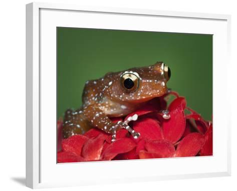 Cinnamon Tree Frog, Borneo-Adam Jones-Framed Art Print