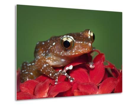 Cinnamon Tree Frog, Borneo-Adam Jones-Metal Print
