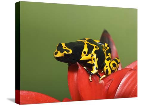 Bumblebee Poison Frog, Aka Yellow-Banded Poison Dart Frog-Adam Jones-Stretched Canvas Print
