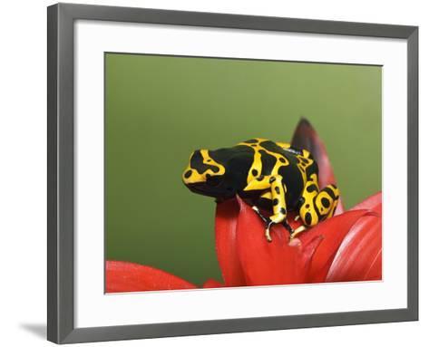 Bumblebee Poison Frog, Aka Yellow-Banded Poison Dart Frog-Adam Jones-Framed Art Print