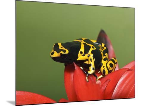 Bumblebee Poison Frog, Aka Yellow-Banded Poison Dart Frog-Adam Jones-Mounted Photographic Print
