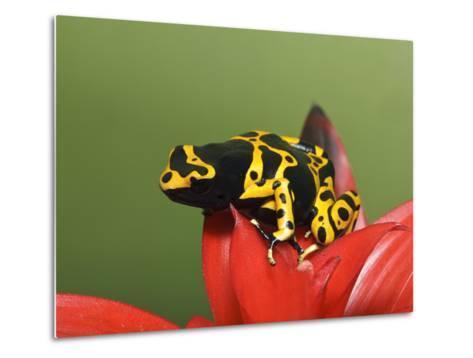 Bumblebee Poison Frog, Aka Yellow-Banded Poison Dart Frog-Adam Jones-Metal Print