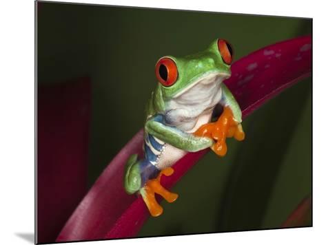 Red-Eyed Tree Frog-Adam Jones-Mounted Photographic Print