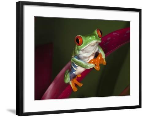 Red-Eyed Tree Frog-Adam Jones-Framed Art Print