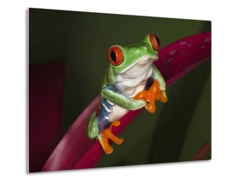 Red-Eyed Tree Frog-Adam Jones-Metal Print