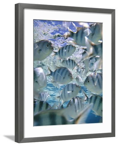 Underwater Fish, Aitutaki, Cook Islands-Douglas Peebles-Framed Art Print