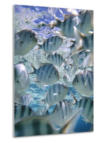 Underwater Fish, Aitutaki, Cook Islands-Douglas Peebles-Metal Print