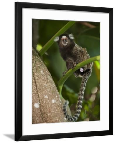 Common Marmoset, Sugar Loaf, Rio De Janeiro, Brazil-Pete Oxford-Framed Art Print