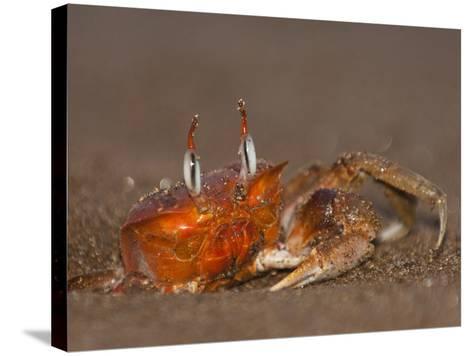Ghost Crab, Santiago Island, Galapagos Islands, Ecuador-Pete Oxford-Stretched Canvas Print