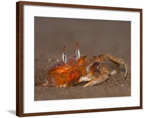 Ghost Crab, Santiago Island, Galapagos Islands, Ecuador-Pete Oxford-Framed Art Print