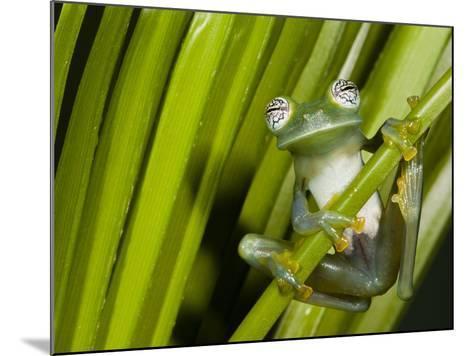 Glass Frog, Choca Region, Ecuador-Pete Oxford-Mounted Photographic Print