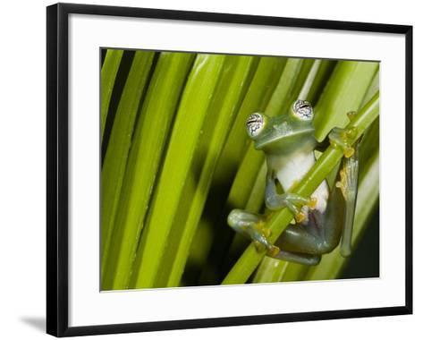 Glass Frog, Choca Region, Ecuador-Pete Oxford-Framed Art Print