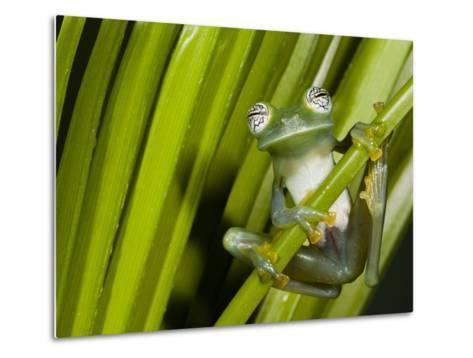 Glass Frog, Choca Region, Ecuador-Pete Oxford-Metal Print
