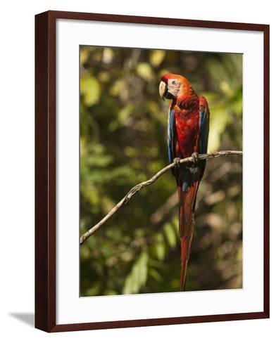 Scarlet Macaw, Cocaya River, Eastern Amazon Rain Forest, Peru-Pete Oxford-Framed Art Print