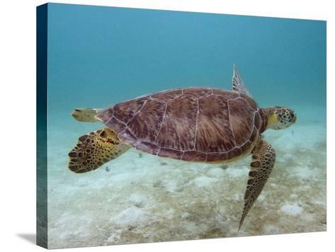 Green Turtle, Sian Ka'An Biosphere Reserve, Quintana Roo, Yucatan Peninsula, Mexico-Pete Oxford-Stretched Canvas Print