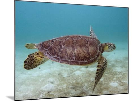 Green Turtle, Sian Ka'An Biosphere Reserve, Quintana Roo, Yucatan Peninsula, Mexico-Pete Oxford-Mounted Photographic Print