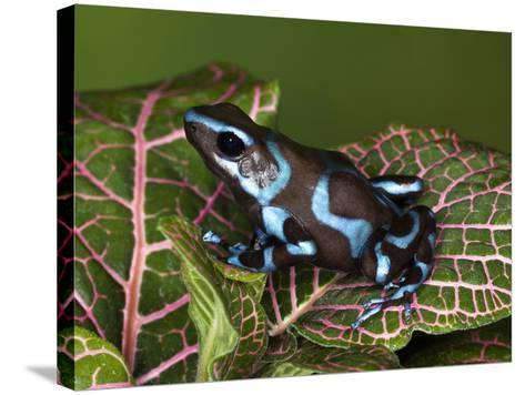 Blue and Black Poison Dart Frog, Native to Costa Rica-Adam Jones-Stretched Canvas Print