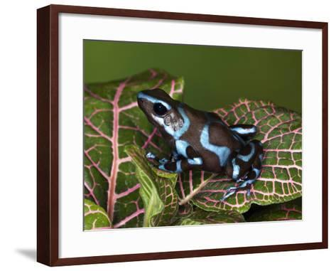 Blue and Black Poison Dart Frog, Native to Costa Rica-Adam Jones-Framed Art Print