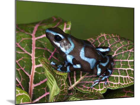 Blue and Black Poison Dart Frog, Native to Costa Rica-Adam Jones-Mounted Photographic Print