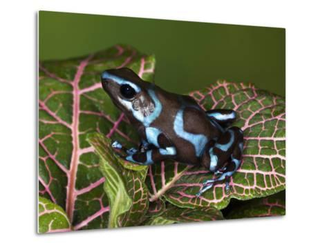 Blue and Black Poison Dart Frog, Native to Costa Rica-Adam Jones-Metal Print