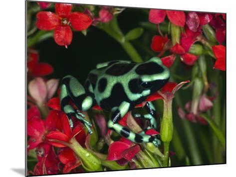 Green and Black Dart Frog, Costa Rica-Adam Jones-Mounted Photographic Print