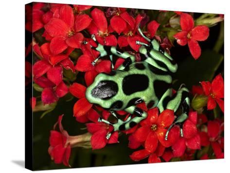 Green and Black Dart Frog, Costa Rica-Adam Jones-Stretched Canvas Print