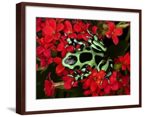 Green and Black Dart Frog, Costa Rica-Adam Jones-Framed Art Print