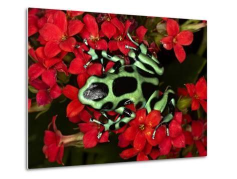 Green and Black Dart Frog, Costa Rica-Adam Jones-Metal Print