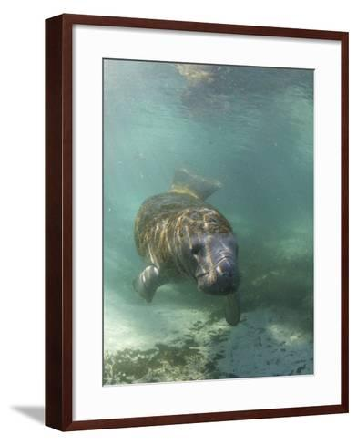 Florida Manatee, Crystal River, Florida, Usa-Rebecca Jackrel-Framed Art Print