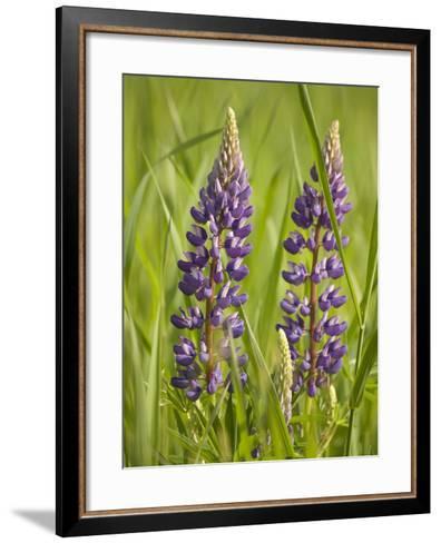 Lupine, Near Silver Bay, Northeastern Minnesota, Usa-Rob Sheppard-Framed Art Print
