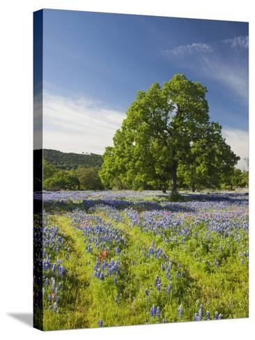 Lone Oak Standing in Field of Wildflowers with Tracks Leading by Tree, Texas Hill Country, Usa-Julie Eggers-Stretched Canvas Print