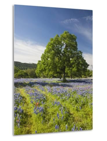 Lone Oak Standing in Field of Wildflowers with Tracks Leading by Tree, Texas Hill Country, Usa-Julie Eggers-Metal Print