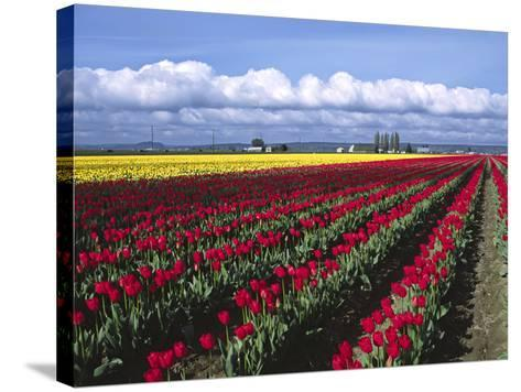 A Field of Tulips with Stormy Skies, Skagit Valley, Washington, Usa-Charles Sleicher-Stretched Canvas Print