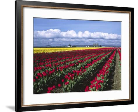 A Field of Tulips with Stormy Skies, Skagit Valley, Washington, Usa-Charles Sleicher-Framed Art Print